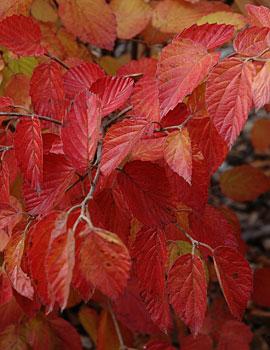 Morton Arrowwood Viburnum Viburnum Arrowwood Fall Color