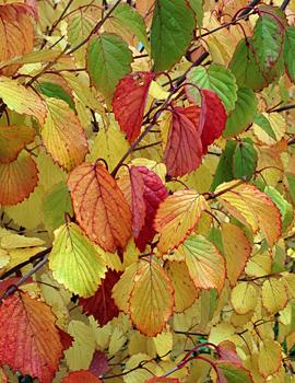 ARROWWOOD VIBURNUM   AUTUMN Viburnum Arrowwood Fall Color