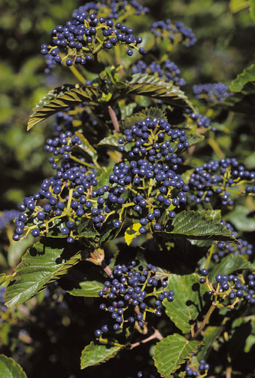 Shrubs From Chicagoland Grows Chicago Lustre Arrowwood