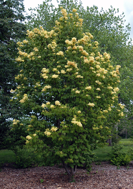 Trees From Chicagoland Grows Zhang Zhiming Peking Lilac Beijing Gold