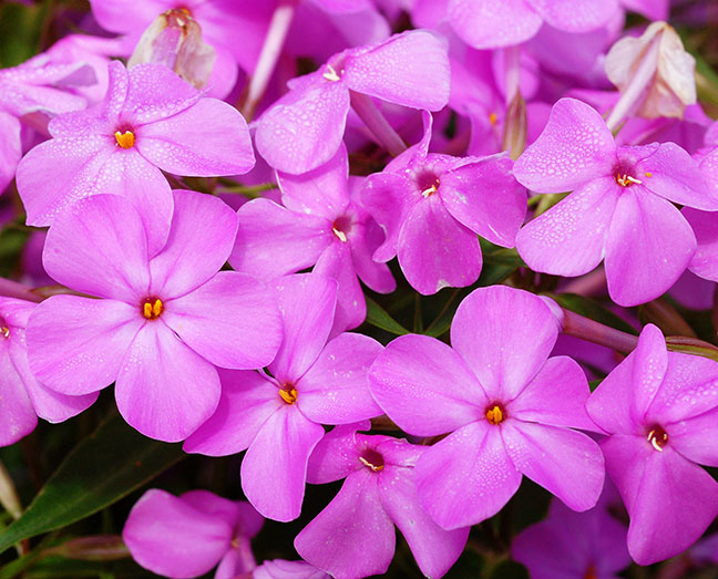 phlox muslim List of flower names with their meanings and alluring pictures  scientific name: phlox drummondii, phlox sp phlox meaning: sweet dreams, trying to please you.
