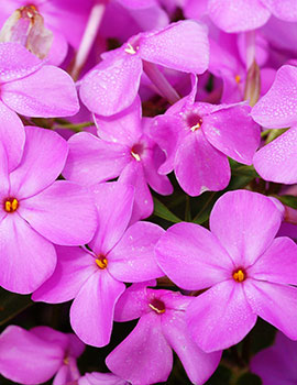 Perennials from chicagoland grows forever pink phlox mightylinksfo Choice Image