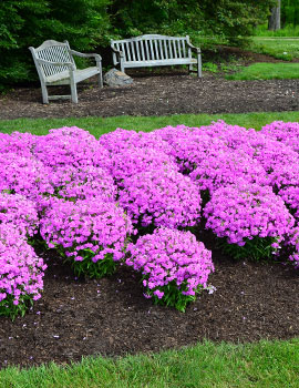 Perennials from chicagoland grows forever pink phlox click on image above to open larger image in new browser window mightylinksfo