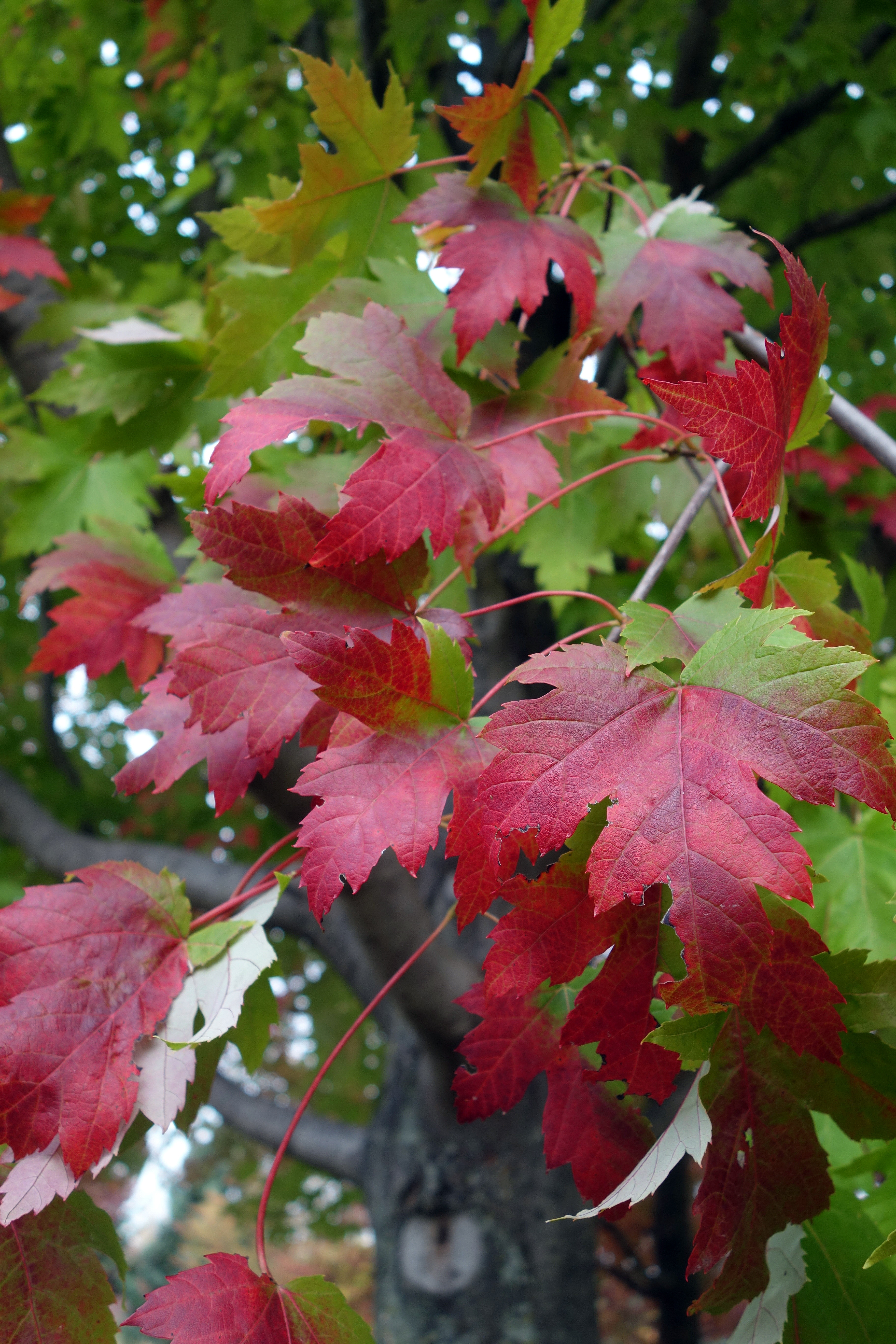 trees from chicagoland grows   marmo freeman maple