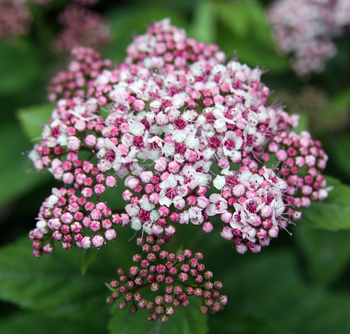 Shrubs From Chicagoland Grows Pink A Licious Spirea