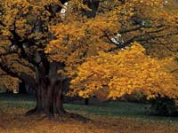 PHOTO: yellow tree