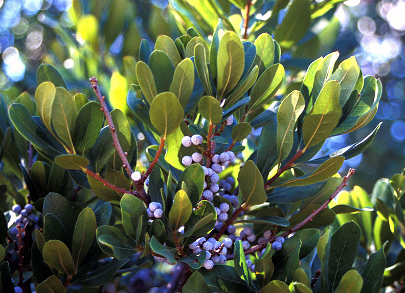 Shrubs from Chicagoland Grows : Morton Bayberry — Silver Sprite